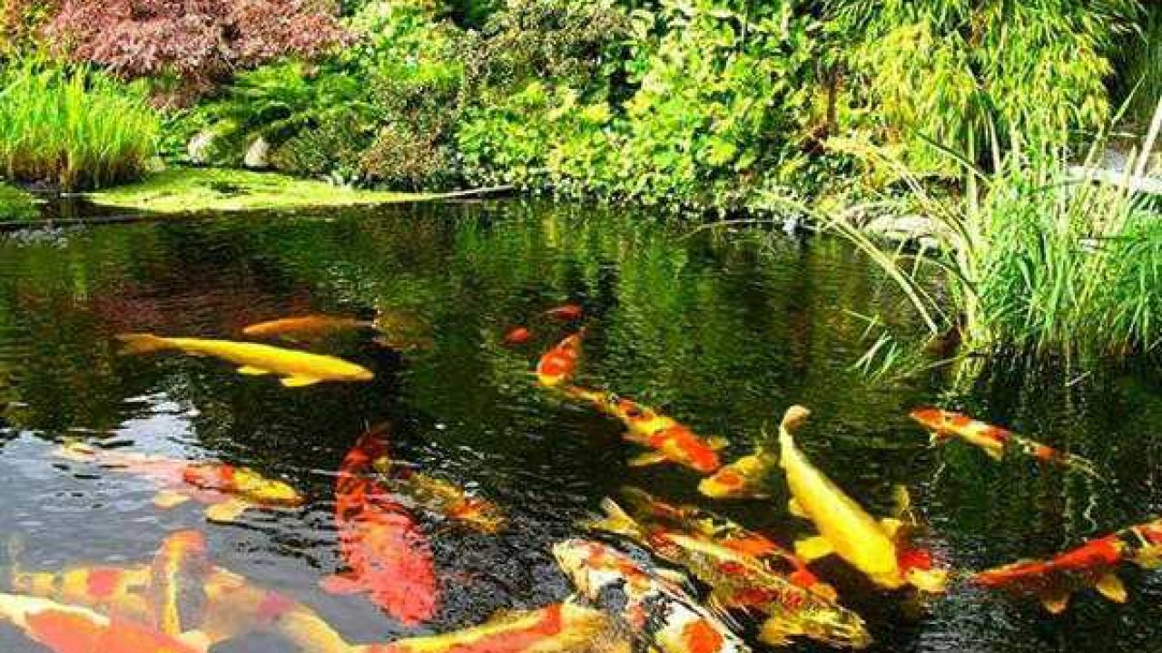 Ide Pembuatan Kolam Ikan Hias Minimalis Di Halaman Rumah