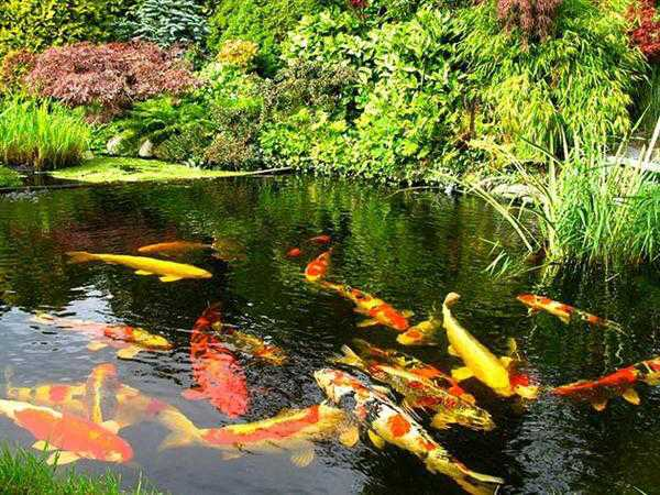 kolam ikan koi di halaman rumah