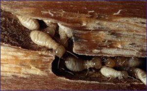 rayap pada dalam kayu