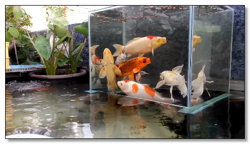 desain kolam ikan koi seperti terbang