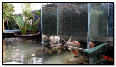 kolam ikan koi unik ikan terlihat seperti terbang
