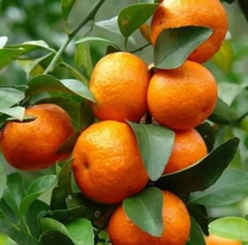 tanaman-jeruk